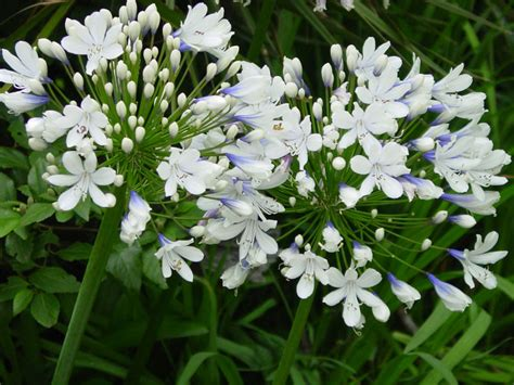 6 of the best agapanthus sa garden and home