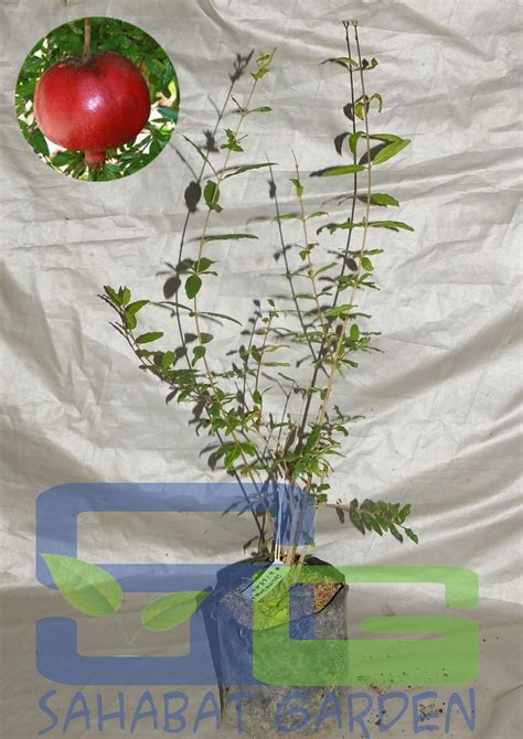 Jual Bibit Buah Kediri jual bibit buah delima biji lunak harga murah kediri oleh toko sahabat garden