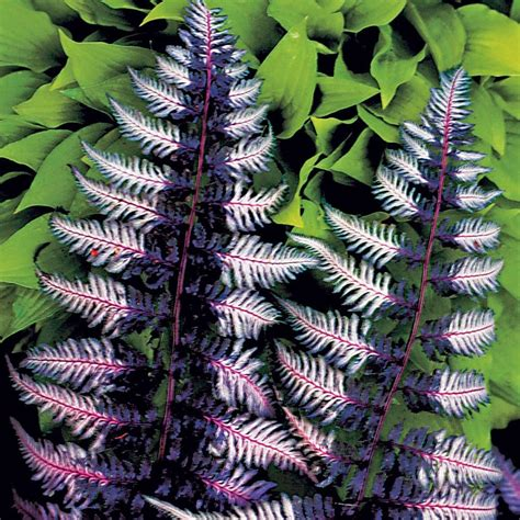 how to grow japanese painted ferns the garden of eaden