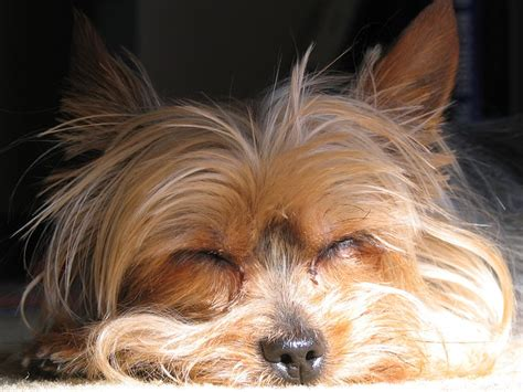 yorkie sleeping free pictures terrier 28 images found