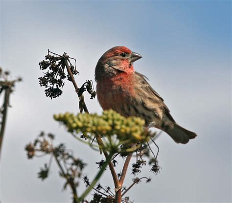 house finch facts house finch facts 28 images finch finch description