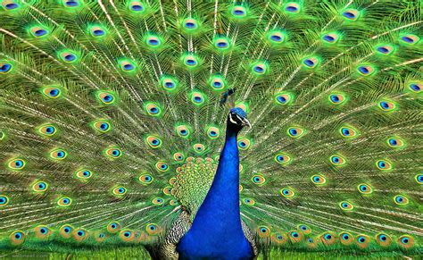 beautiful peacock photography  preview