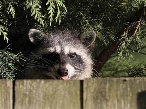how to get rid of raccoons in my backyard get rid of raccoons in 4 easy steps