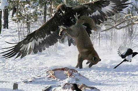 wolf vs the gray wolf also known as the timber wolf is breeds picture