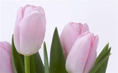 wallpaper bunga tulip pink pink tulip wallpapers wallpaper cave