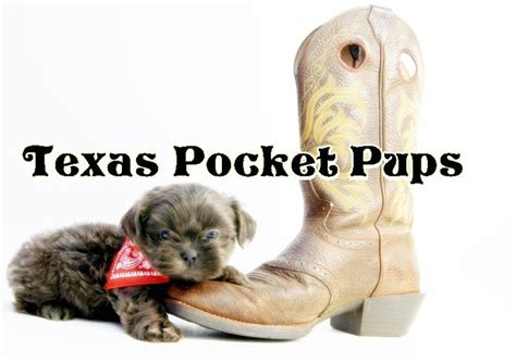 shih tzu puppies for sale in dallas tx dallas tx teacup chihuahua puppies for sale dallas html autos weblog