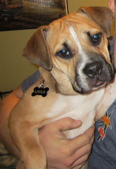 beagle bull puppy pin beagle bulldog mix breed photos all mutt on
