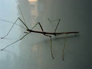 walking stick bug birds and bees pinterest