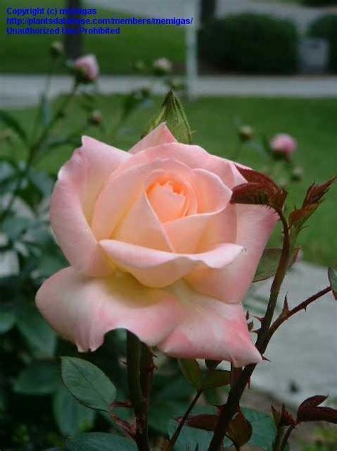 princess diana rose plantfiles picture 1 of hybrid tea rose diana princess
