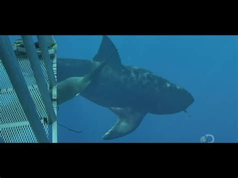 baby shark real life more megalodons caught on camera spotted in real life