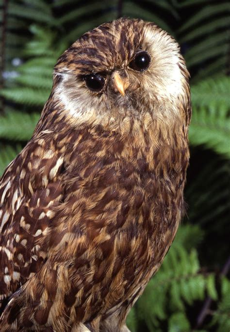 laughing owl facts habitat sightings pictures  diet