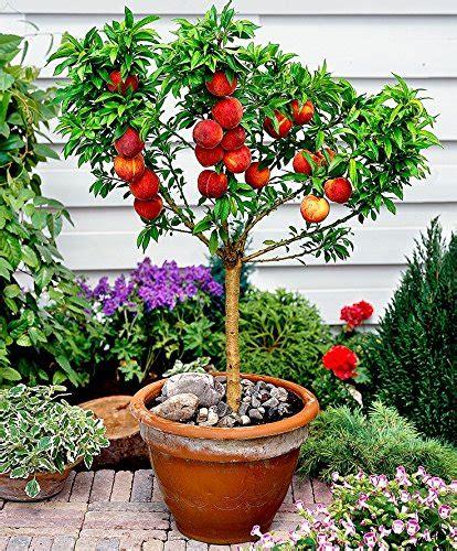 indoor fruit plants 10 seeds dwarf peach fruit tree indoor outdoor
