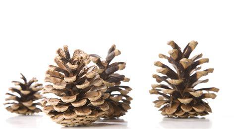 Christmas Plant Decoration Kostenlose Foto Baum Ast Holz Isoliert Dekoration