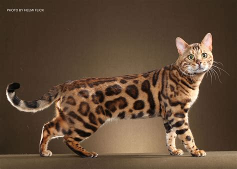 cat for adults bengal cats for sale in ga boydsbengals