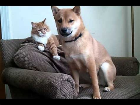 shiba inu vs golden retriever cutest puppy and kitten fight shiba inu funnydog tv