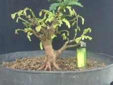 Bakalan Bonsai Asem dadan s bonsai tehnik pemerograman akar untuk bakalan