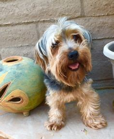yorkie bloated stomach 1000 images about az s cutest companions on adopt a pets and terrier mix