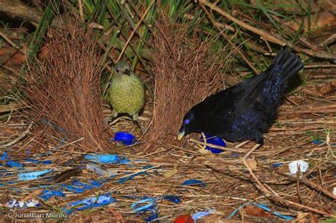 Best Australian Architects 27 best images about bower birds on pinterest blue and