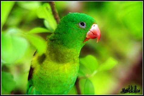 imagenes de pericos verdes perico barbinaranja enlodados com
