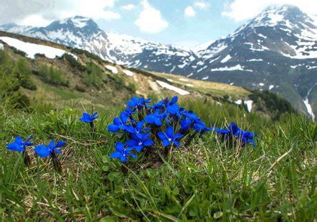fiori di alta montagna ciuffo di fiori d alta montagna archivio fotografico