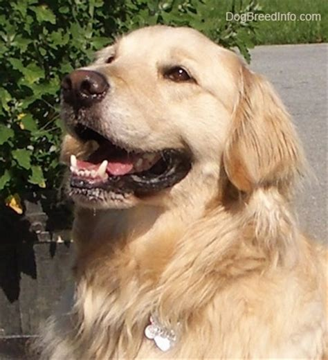 golden retriever age in human years golden retriever age in human years golden retriever age in human years golden