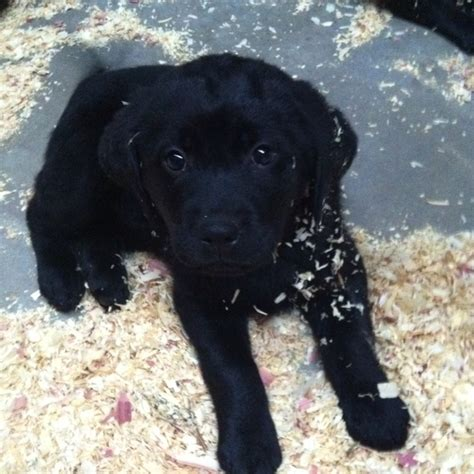6 week lab puppy black lab puppies 6 weeks www imgkid the image kid has it