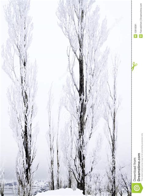 tall thin snow covered trees stock image image