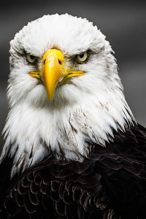 best eagle best 25 eagle pictures ideas on bald eagle