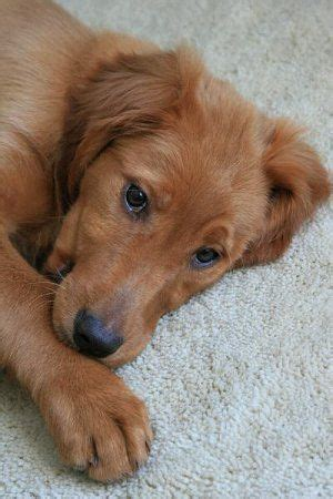 golden retriever setter cross the of puppy i to one day golden retriever and setter mix i