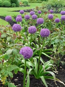 Fall And Winter Gardening - allium globemaster garden housecalls