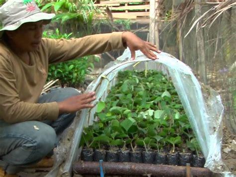 Bibit Merica Perdu cara menanam merica atau lada di dalam pot