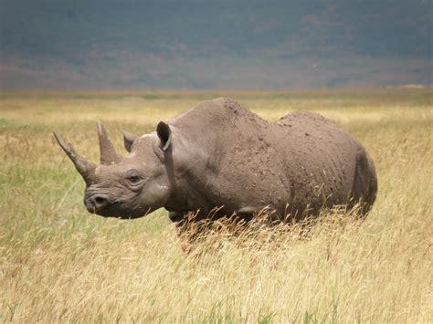 black rhino science media centre 187 blog archive 187 captive breeding of