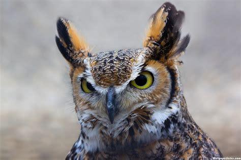 hd owl ears wallpaper download free 140657