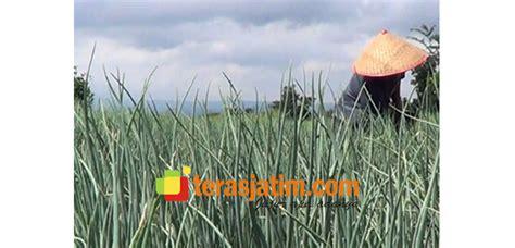 Bibit Bawang Merah Trisula curah hujan tinggi petani bawang di situbondo merugi