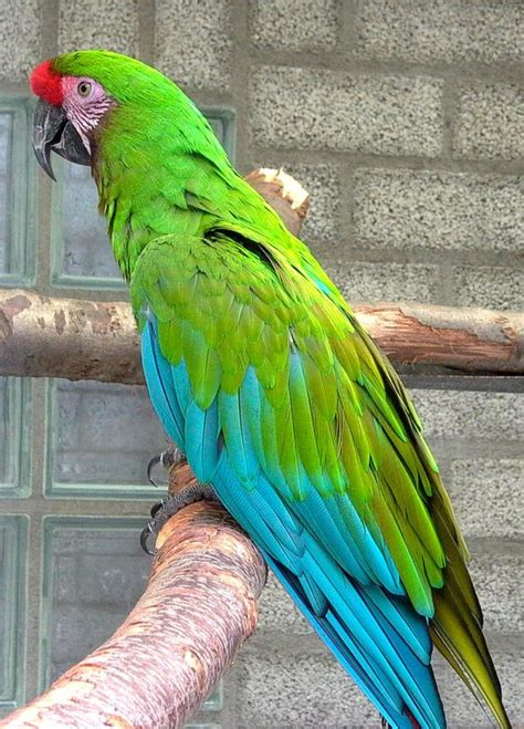 mexicanlove bird mexican green macaw parrot the turquoise blue coloring birds of color