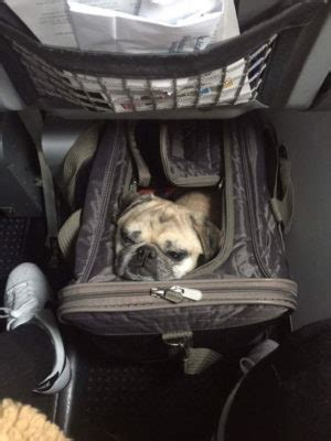 flying with a pug in cabin buzz takes flight travel tips for flying with pugs pug squad