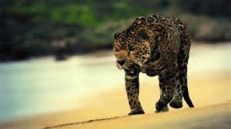 How Many Can A Jaguar Run Leopard Gif Pictures Photos And Images For