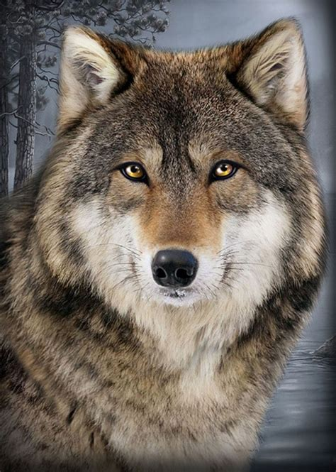9 best images about wolf best 25 wolf face ideas on pinterest snow wolf wolf face drawing and wolf photos