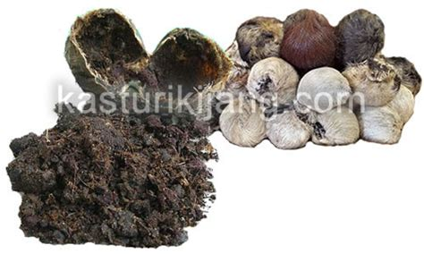 Minyak Kasturi Kijang Asli khasiat minyak kasturi kijang asli kasturi kijang asli