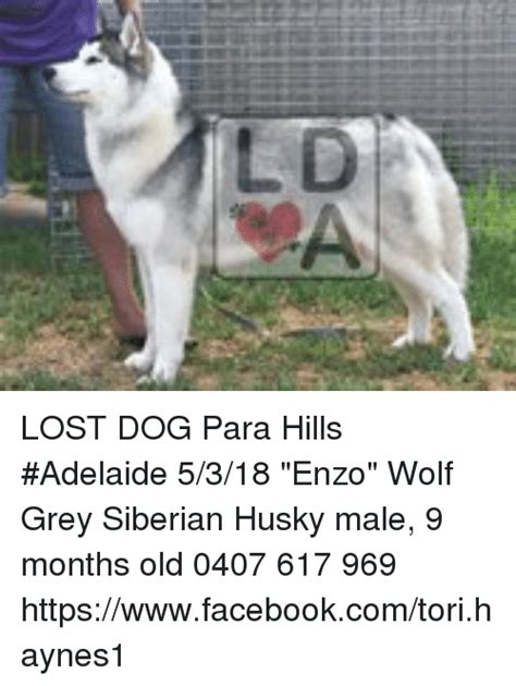 Lost Dog Meme - lost dog para hills adelaide 5318 enzo wolf grey siberian