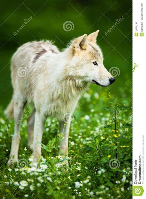 arctic wolf aka polar wolf or white wolf royalty free stock image image 35328196