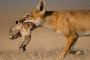 Dog Hunting Blind Moving Slowly To Capture The Swift Fox Proof