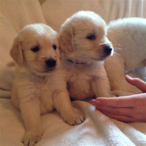 beautiful golden retriever puppies beautiful golden retriever puppies grantham lincolnshire pets4homes