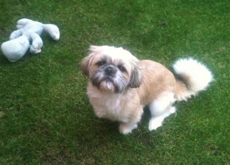 years shih tzu 2 and 1 2 year shih tzu at stud buzz stockton on tees county durham pets4homes