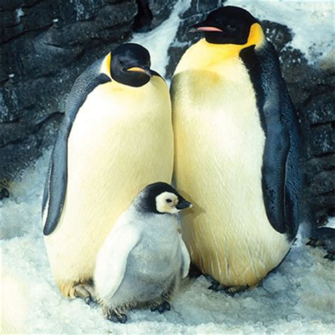 PENGUINS - Reproduction