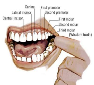 definition pattern teeth dental formula of teeth