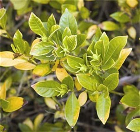 Gardenia Diseases How To Correct Chlorosis Yellowing Of Leaves