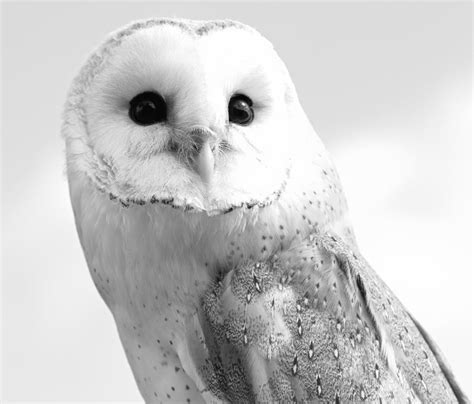 black and white barn owl photograph by dan sproul