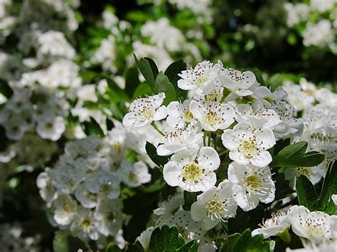 shrub with white flowers shrub with white flowers trees and shrubs in bloom flowers