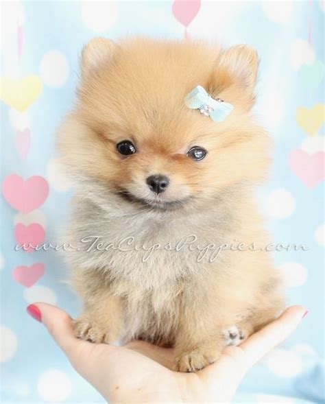 pomeranian with bow the gallery for gt pomeranians with a bow